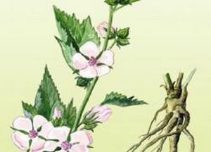 корень алтея для лечения бронхита