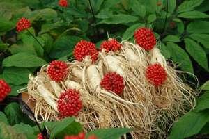 цветы и корень женьшеня