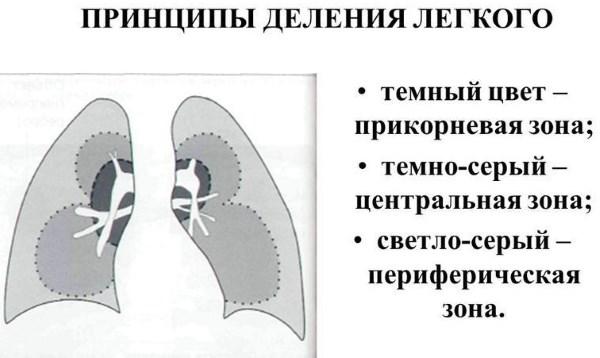 прикорневые зоны легких