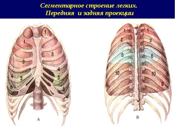 сегменты легких
